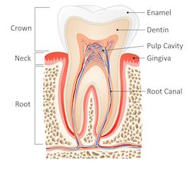 A diagram of a tooth | Medina oh root canals